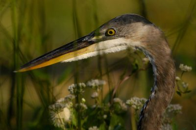 Photo: A close-up of a great blue heron (Andea herodias) in Shark Valley at the north end of Everglades National Park.