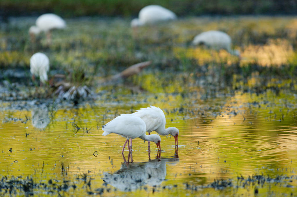 White ibis (Eudocimus albus) feeding in Everglades National Park, Florida.
