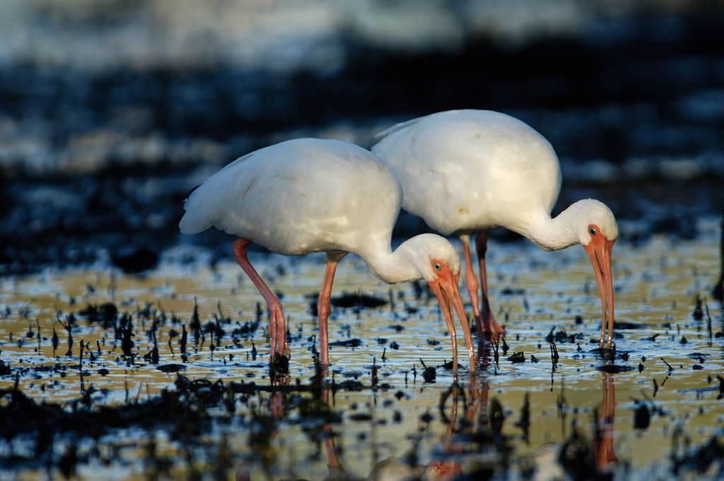 White ibis (Eudocimus albus) feeding in Everglades National Park, Florida.
