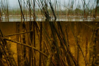 Photo: An underwater view of the marsh near Mahogany Hammock on the east side of the Everglades.