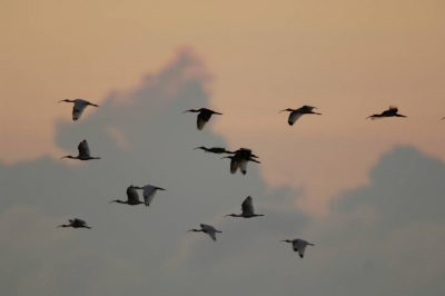 A group of white ibis (Eudocimus albus) fly at sunset in Everglades National Park, Florida.