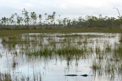 Photo: An alligator breaks through the water in the marshes of the Everglades, Florida.
