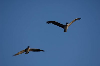Photo: Two birds fly through a clear blue sky in Everglades National Park, Florida.