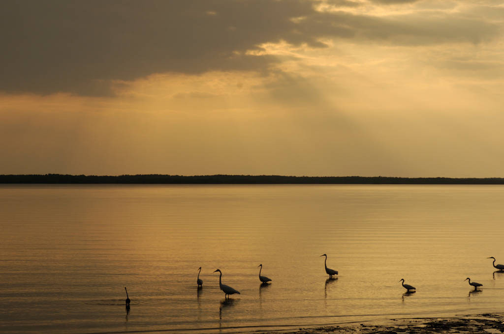 Photo: Egrets feeding at low tide near Everglades City, Florida.