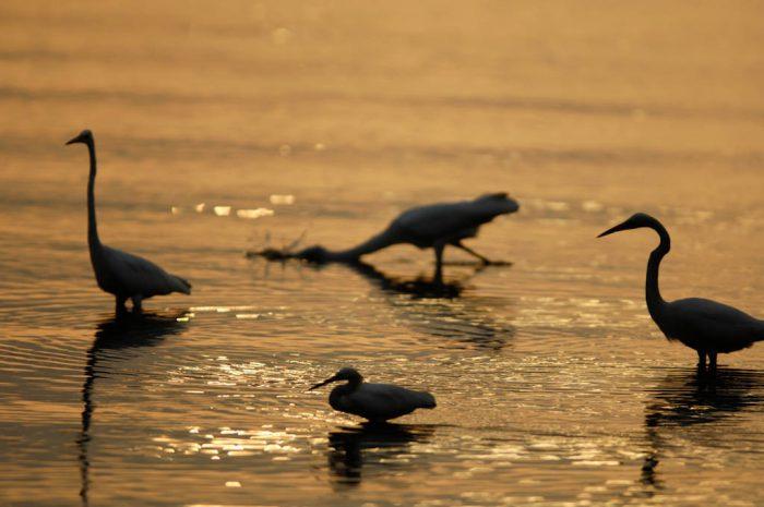 Photo: Egrets feeding at low tide near Everglades City, Florida.