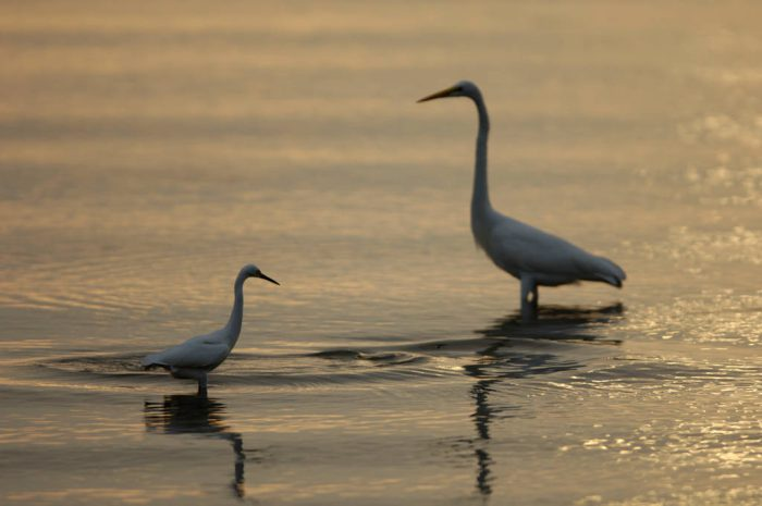 Photo: Egrets at low tide near Everglades City, Florida.