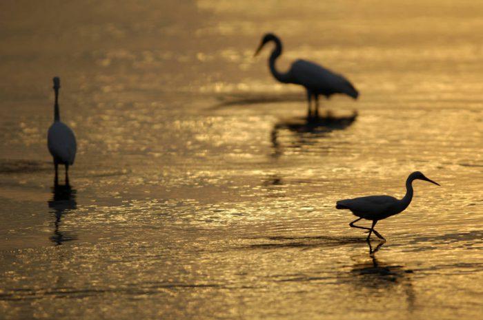 Photo: Egrets at low tide near Everglades City, Florida.