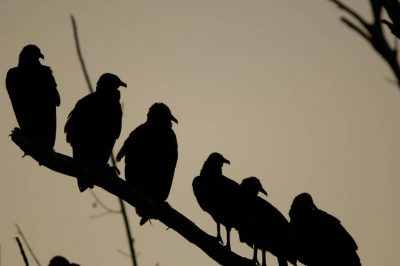 Picture of silhouetted black vultures (Coragyps atratus) in the Everglades, Florida.