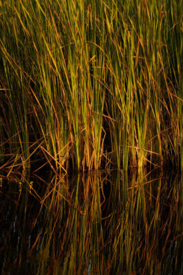 Photo: Tall marsh grass in the Everglades, Florida.