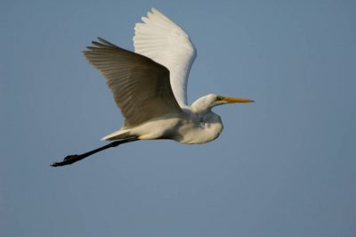 Photo: An egret flies through a clear blue sky in Everglades National Park, Florida.