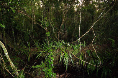 Photo: A mahogany tree log in a Mahogany Hammock in Everglades National Park, Florida.