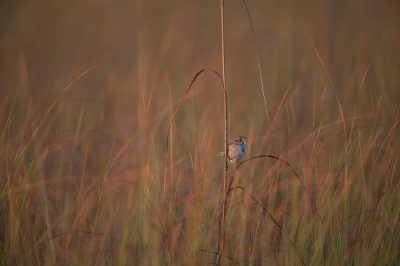 The federally-endangered Cape Sable seaside sparrow (Ammodramus maritimus mirabilis). This bird is down to about 2,000 individuals and declining. Nearly all of this species is found within the Everglades National Park in southern Florida.