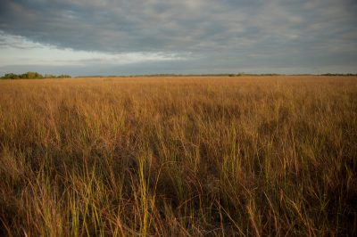 The habitat of the federally-endangered Cape Sable seaside sparrow (Ammodramus maritimus mirabilis). This bird is down to about 2,000 individuals and declining. Nearly all of this species is found within the Everglades National Park in southern Florida.