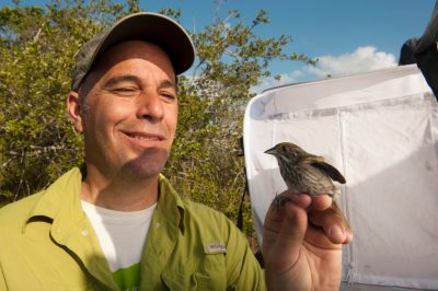 A banding crew researches the federally endangered Cape Sable seaside sparrow, Ammodramus maritimus mirabilis, before releasing it back into the wild. This bird is down to about 2,000 individuals and declining, with nearly all found within Everglades National Park in south Florida.