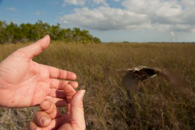 A federally endangered Cape Sable seaside sparrow, Ammodramus maritimus mirabilis, is released back into the wild. This bird is down to about 2,000 individuals and declining, with nearly all found within Everglades National Park in south Florida.