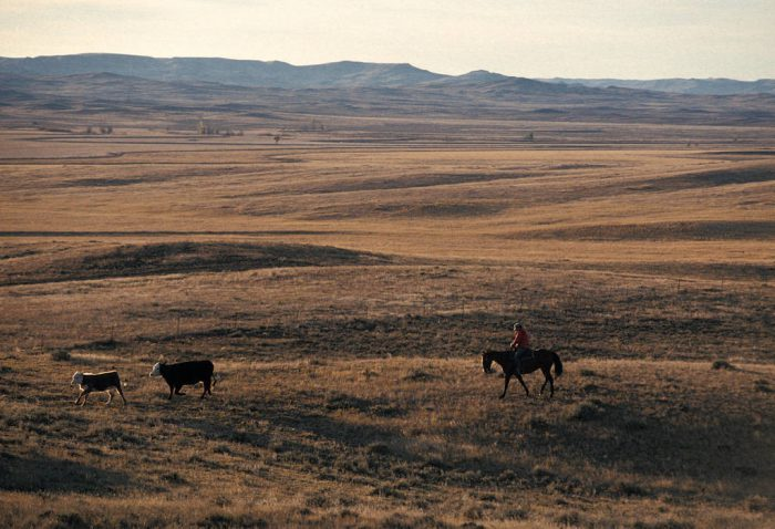 Photo: Cattle roam the scenic Charles M. Russel National Wildlife Refuge in Montana, along the Lewis and Clark route.