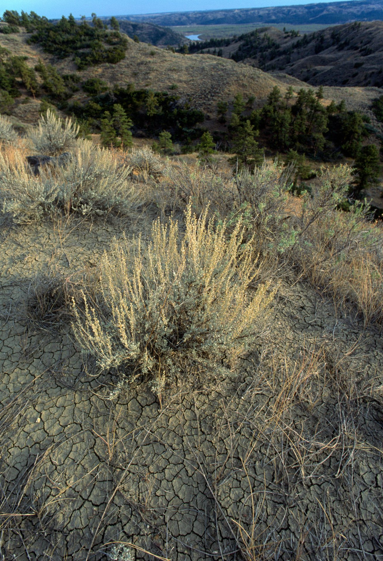 Photo: Cracked dirt and brushes at the Charles M Russell National Wildlife Refuge, Montana.