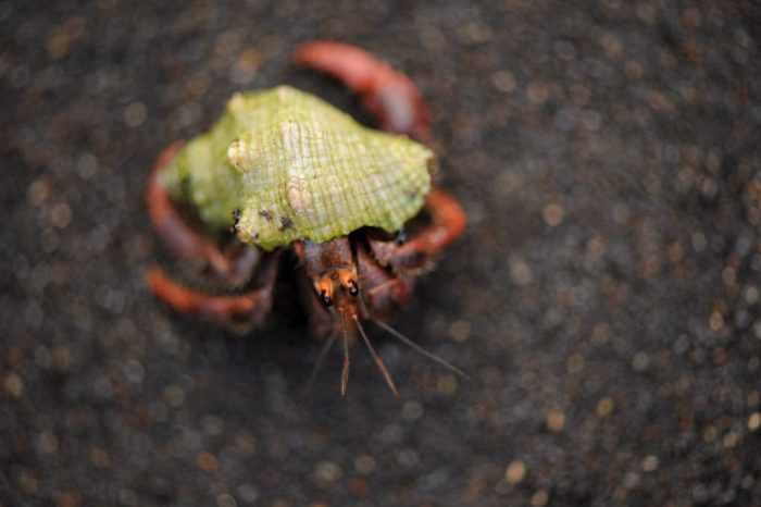 Photo: A hermit crab (Pagarus impressus) on the beach near Playa Tortuga, Mexico.