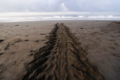 Leatherback sea turtle (Dermochelys coriacea) tracks on a nesting beach.