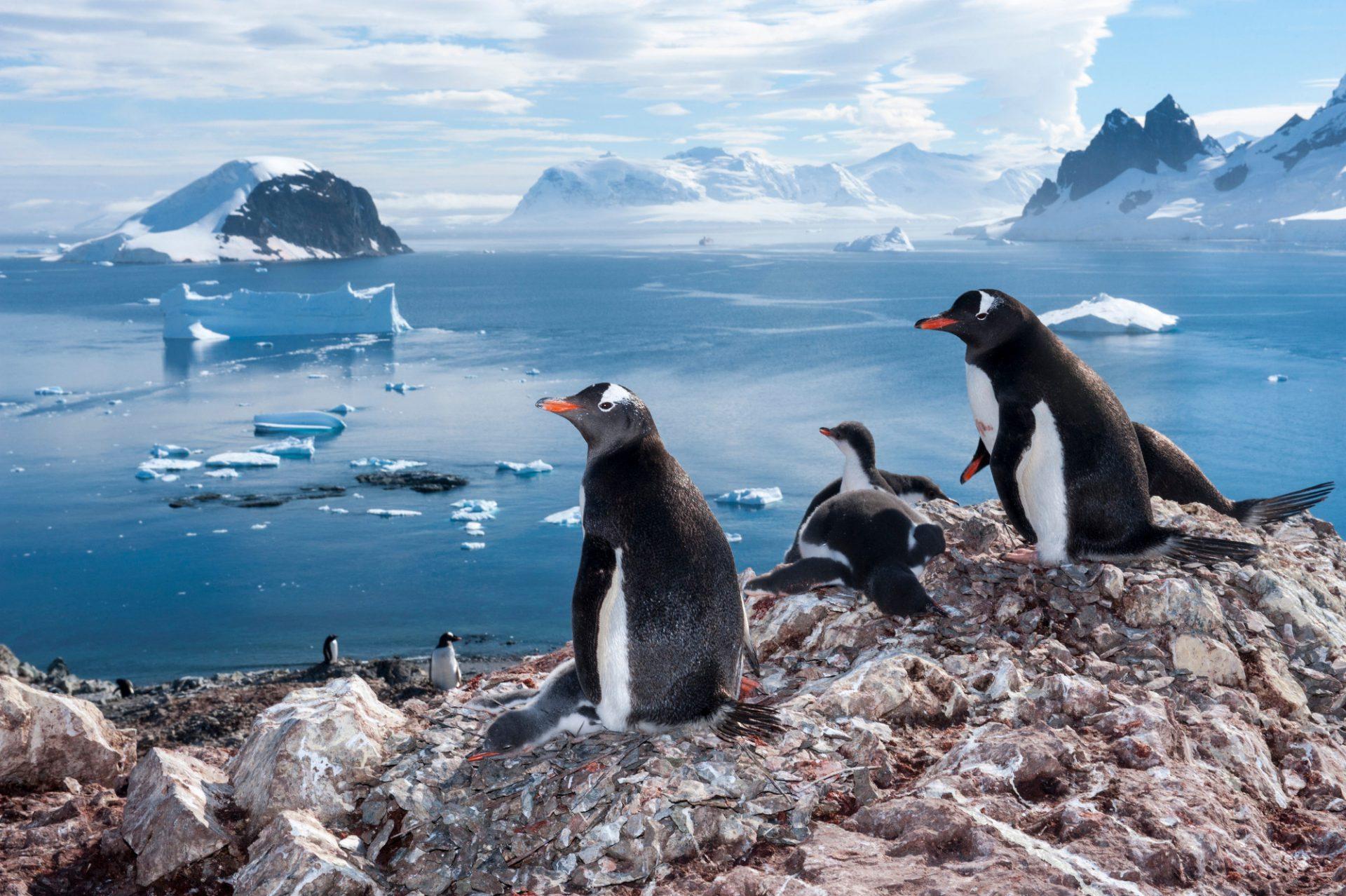 A gentoo penguin (Pygoscelis papua papua) colony on Danco Island, Antarctica.