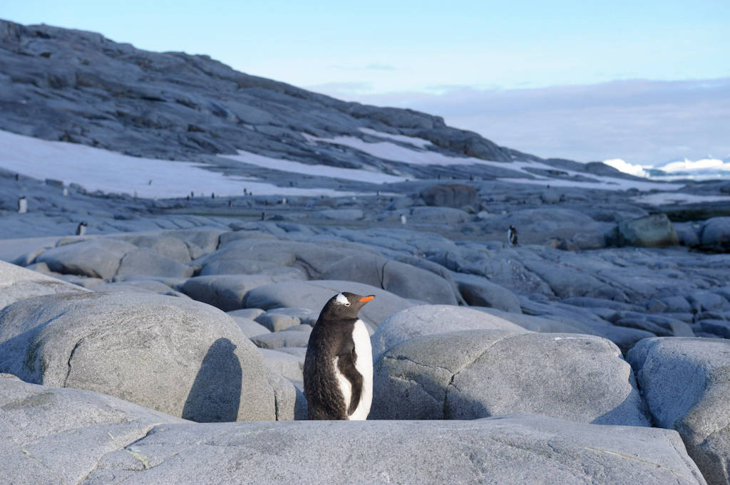 A gentoo penguin (Pygoscelis papua papua) (IUCN: Near Threatened) colony along the Antarctic Peninsula, near the Antarctic Circle.