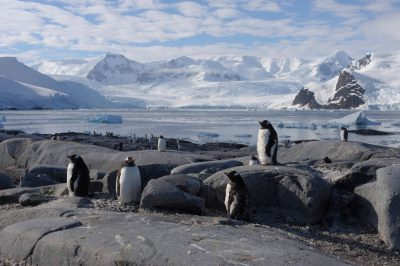 A gentoo penguin (Pygoscelis papua papua) (IUCN: Near Threatened) colony along the Antarctic Peninsula, near the Antarctic Circle.