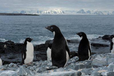 Photo: Adelie penguins (Pygoscelis adeliae) on the Antarctic peninsula near the Antarctic circle.