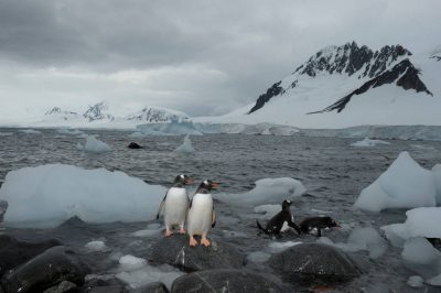 A gentoo penguin (Pygoscelis papua papua) colony on Danco Island, Antarctica. (IUCN: Near Threatened)