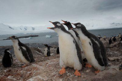 A gentoo penguin (Pygoscelis papua papua) (IUCN: Near Threatened) and Adelie penguin (Pygoscelis adeliae) colony on Danco Island, Antarctica.