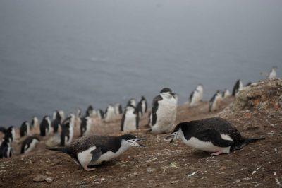 Photo: A chinstrap penguin (Pygoscelis antarcticus) colony on Deception Island.
