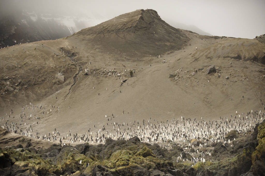 Photo: A chinstrap penguin (Pygoscelis antarcticus) colony on Deception Island.