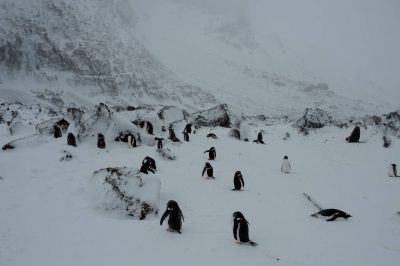 A gentoo penguin (Pygoscelis papua papua) colony along Brown Bluff on the Antarctic Peninsula on the edge of the Antarctic Sound.