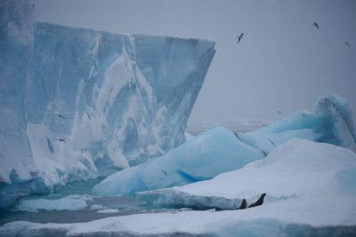 Photo: Deep blue ice, scavenger birds and Antarctic fur seals (Arctocephalus gazella) along Brown Bluff on the Antarctic Peninsula, on the edge of Antarctic Sound.