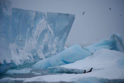 Photo: Deep blue ice, scavenger birds and Antarctic fur seals (Arctocephalus gazella) along Brown Bluff on the Antarctic Peninsula, on the edge of Antarctic Sound.