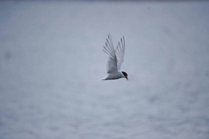Photo: A bird flies above South Georgia Island in the Antarctic Peninsula.