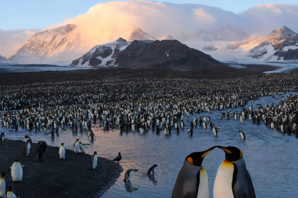 A king penguin (Aptenodytes patagonicus) rookery from South Georgia Island's St. Andrews Bay. Shown is one of the largest king penguin colonies in the world at 100,000 nesting pairs.