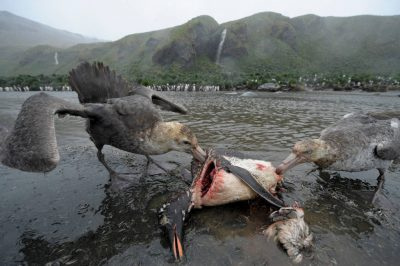 Photo: A southern giant petrel (Macronectes giganteus) (left) and a northern giant petrel (Macronectes halli) as they feed on the carcass of a gentoo penguin on South Georgia Island.