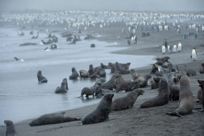 Antarctic fur seals (Arctocephalus gazella) and king penguins (Aptenodytes patagonicus) on Gold's beach on South Georgia Island.