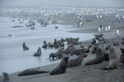 Antarctic fur seals (Arctocephalus gazella) and king penguins (Aptenodytes patagonicus) on Gold's beach on South Georgia Island.