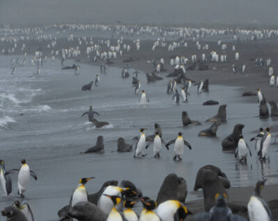 A king penguin (Aptenodytes patagonicus) rookery on Gold's beach on South Georgia Island.