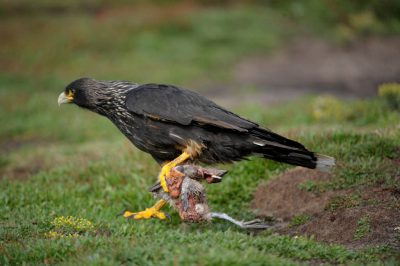 Photo: A striated caracara (Phalcoboenus australis) (IUCN: Near Threatened) or 'Johnny Rook' in the West Falkland's Carcass Island.