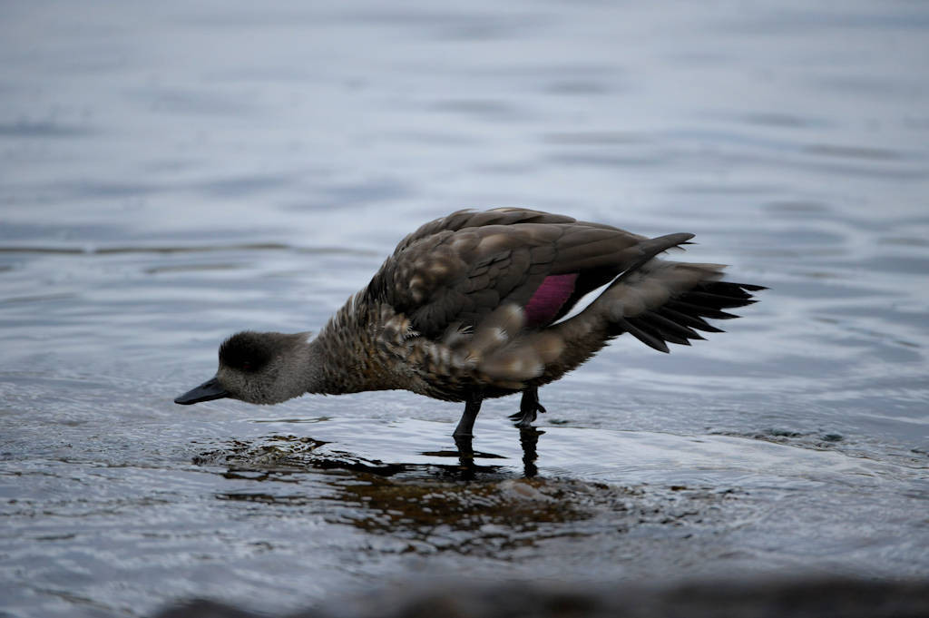 A Patagonian crested duck (Lophonetta specularioides specularioides) on Carcass Island in the West Falkland Islands.