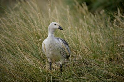 A male upland goose (Chloephaga picta) on Carcass Island in the West Falkland Islands.