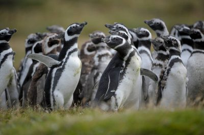 A group of Magellanic penguins (Spheniscus magellanicus) (IUCN: Near Threatened) on Carcass Island in the West Falklands. Many of the birds shown here are molting, part of an annual upgrade of their feathers that keep them warm in frigid waters.
