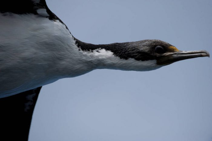 Photo: An imperial shag (Phalacrocorax atriceps), a type of cormorant, in flight in the West Falkland Islands.