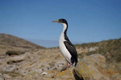 Photo: An imperial shag (Phalacrocorax atriceps), a type of cormorant, in the West Falkland Islands.