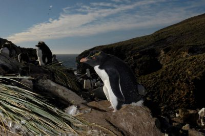 Picture of vulnerable (IUCN) and federally threatened rockhopper penguins (Eudyptes chrysocome chrysocome) on New Island, part of the West Falkland Islands.
