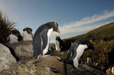Picture of a vulnerable (IUCN) and federally threatened rockhopper penguins (Eudyptes chrysocome chrysocome) on New Island, part of the West Falkland Islands