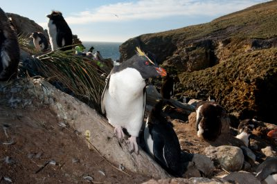 Picture of vulnerable (IUCN) and federally threatened rockhopper penguins (Eudyptes chrysocome) on New Island, part of the West Falkland Islands.