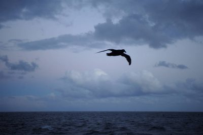 Photo: A giant petrel (Macronectes giganteus) follows a boat near Ushuaia, Argentina.
